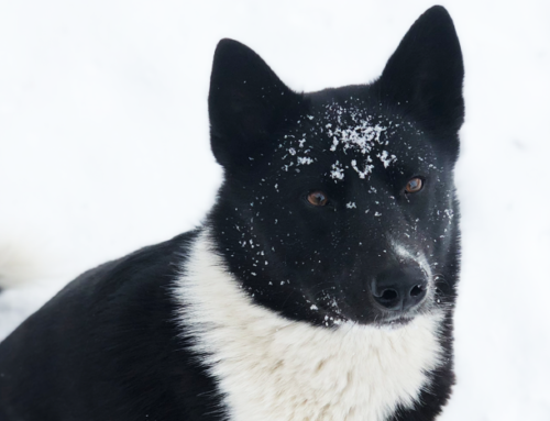 The Characteristics of a Karelian Bear Dog